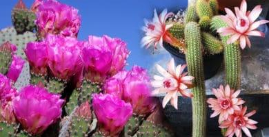 cactos floridos