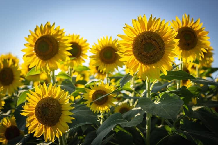 flores para jardim com sol