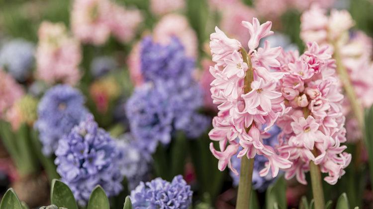 jacinto flor