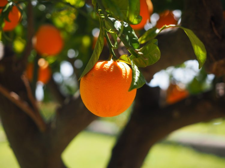 laranja doenças e pragas