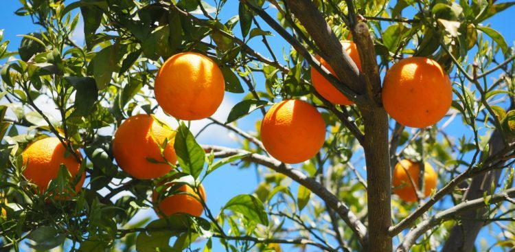 pragas e doenças do citros embrapa