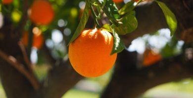pragas laranjeira folhas